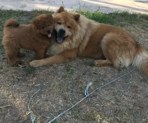 puppies, chowchow, and doggys image
