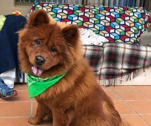 chowchow, dogbandana, and chowchowdogs image