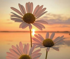 flowers, daisy, and sunset image