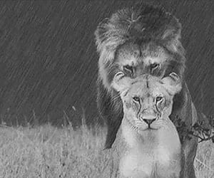 couple and lion image
