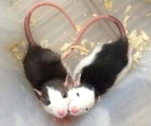 animal and rat image