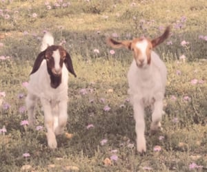 aesthetic, animal, and goat image