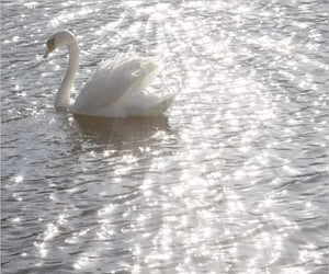 Swan, white, and water image