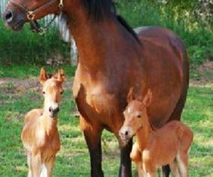 Momma and her twin foals. .