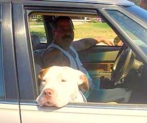 pit bull savior, my friend anthony zuminni, and taking danger to vet image