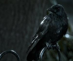 black, crow, and corvid image