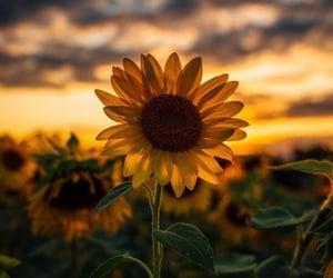 beautiful, grass, and sunflower image