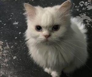 animal, blue eyes, and pet image