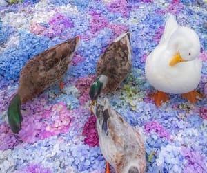 animals, cuties, and ducks image