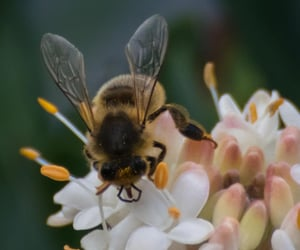 australia, bee, and honey bee image