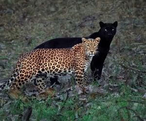 animal and black panther image