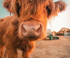 animals, cow, and gianpaoloaliatis image