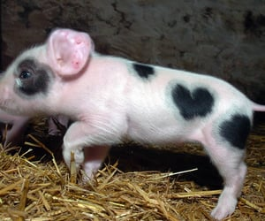 pig and heart image