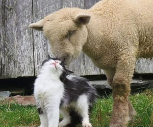 cat, animal, and lamb image