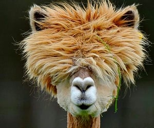 bad hair day, funny, and llama image