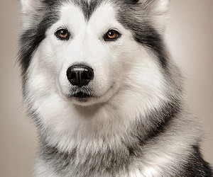 dog, husky, and beautiful image