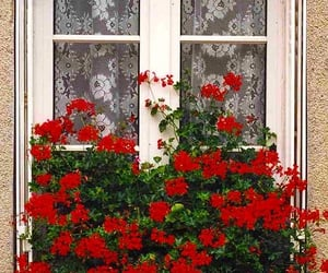 fenetre, Fleurs, and red image
