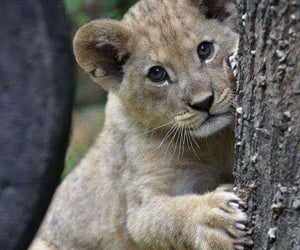lion, cute, and baby image