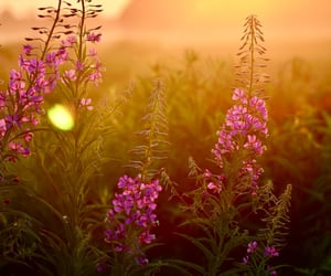 field, flower, and sunset image