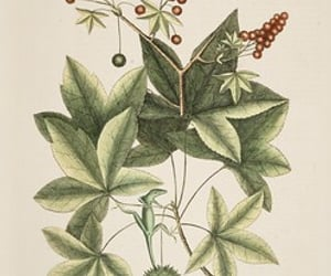 bahamas, North Carolina, and artist:name=mark catesby image