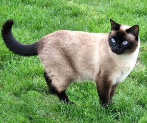 NC DNA Day » Siamese Cat Science!