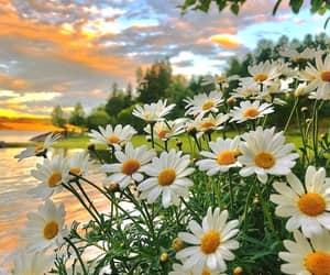 beautiful, daisy, and flowers image