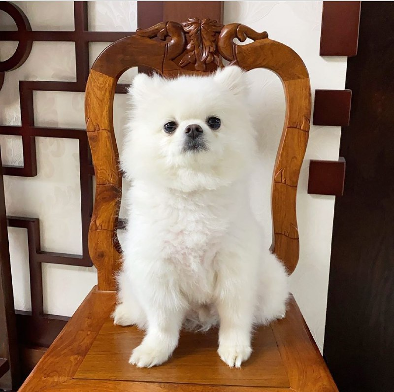 pomeranian dog, article, and pomeranian puppy image