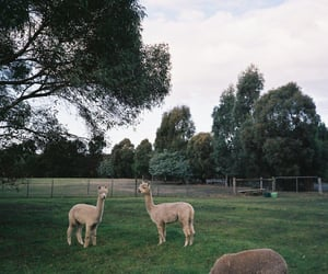 alpaca, llama, and llamas image