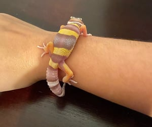 animals, leopard gecko, and veterinary image