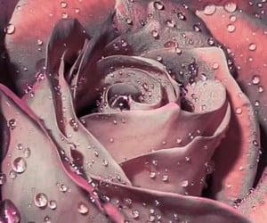 pink, rain, and rose image