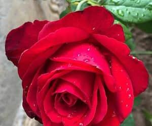 flores, primavera, and rosa image