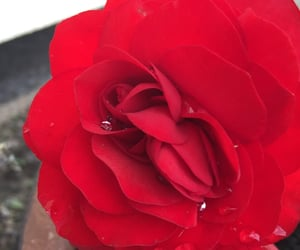 red, red rose, and rose water image
