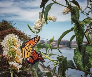 butterfly, flowers, and monarch image