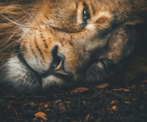 lion, nature, and photography image