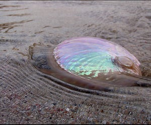 abalone, lil beauty, and gift from the sea image