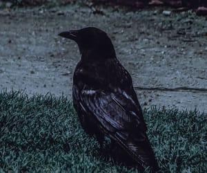 animal, black, and crow image