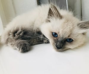 blueeyes, cute, and cat image