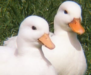 duck and cottagecore image