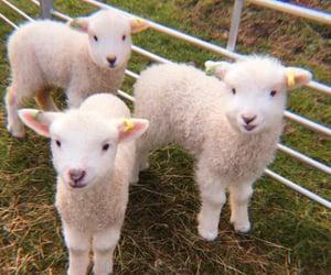 animal, sheep, and soft image