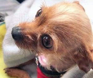 chihuahua, pet, and dog image