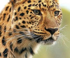 animal, wild, and tiger image