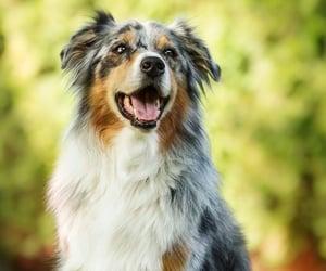 dog, australian shepherd, and cute image