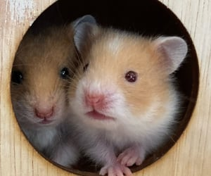 animal, pets, and syirian hamsters image