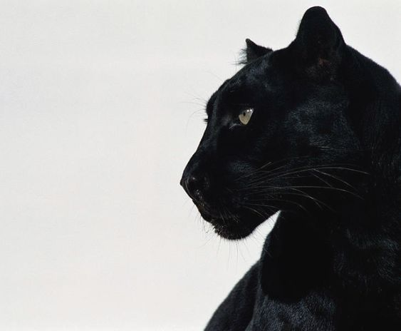 black, aesthetic, and animal image