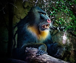 animals, mandrill, and primates image