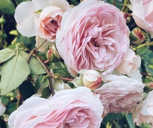 flowers, mood, and rose image