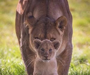 animal, lion, and cub image