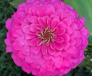 flores, flowers, and zinnia image