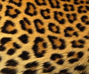 leopard, cheetah, and animal image