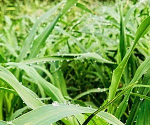 dew drops, dew on leafs, and natural dewdrops image